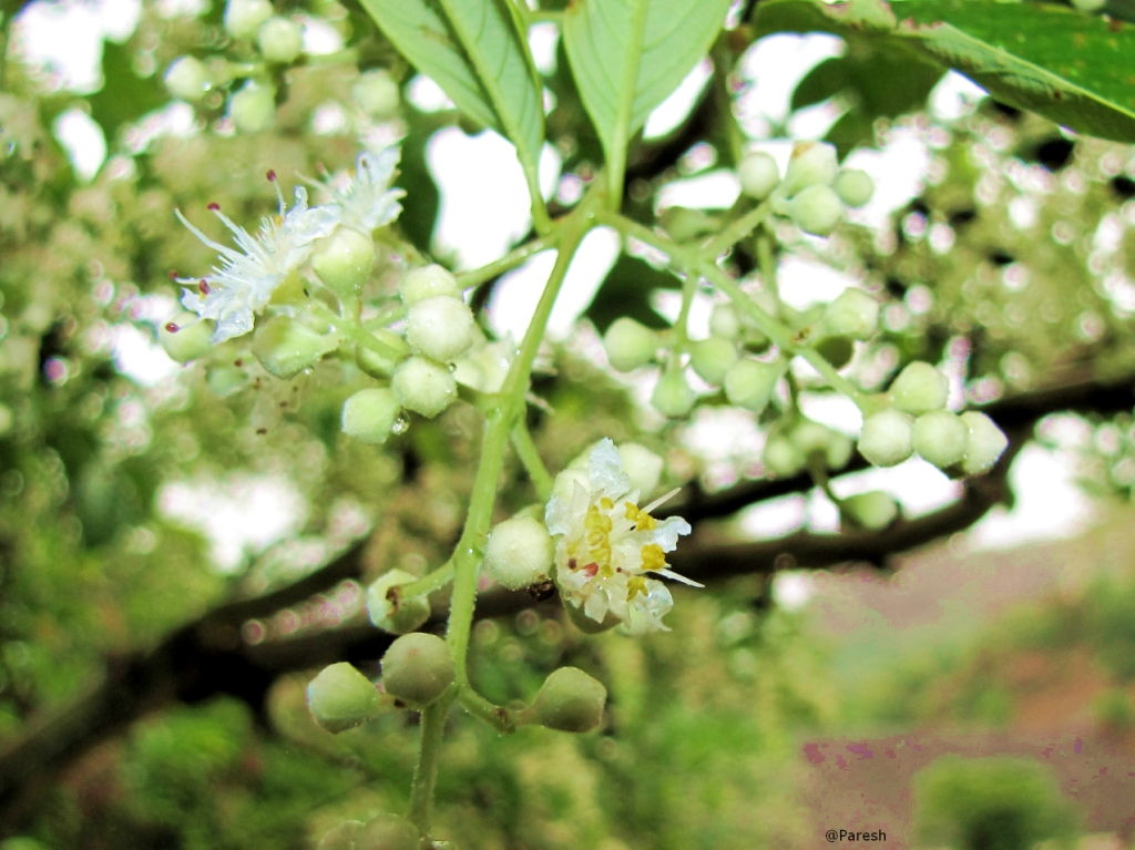 Gifting trees the crape flower in april june the tree flowers profusely with small white flowers which are borne in 2 6 flowers clusters in leaf axils and at the end of branches mightylinksfo