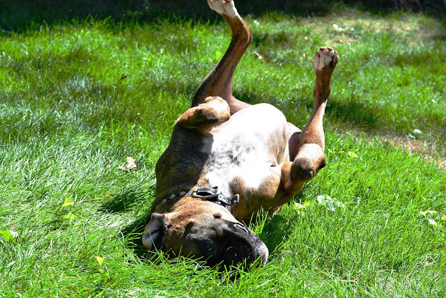 boxer rolling in grass