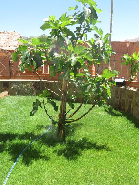 der Feigenbaum vor der Kirche
