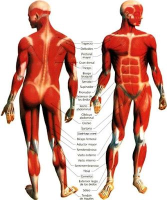 Dibujos de músculos indicando partes para niños o Sistema muscular