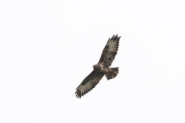 Dark Common Buzzard soaring