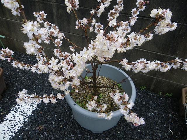 桜 鉢植え
