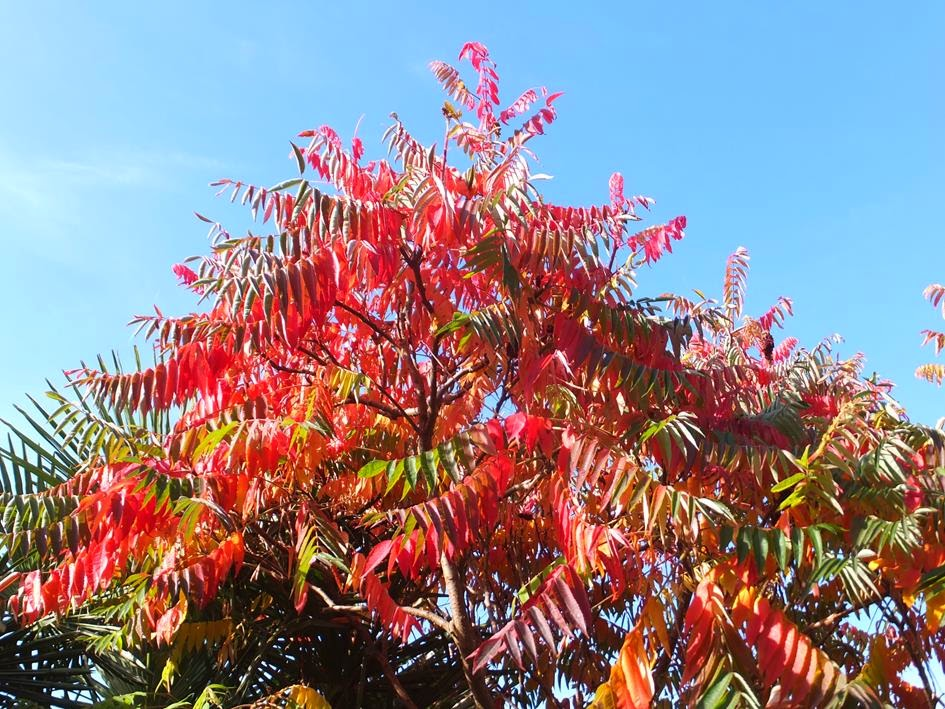 Rhus typhina Autumn Colour