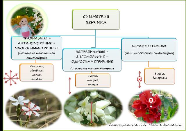 shema-simmetrii-cvetka-pravilnyj-nepravilnyj-asimmetrichnyj-cvetok