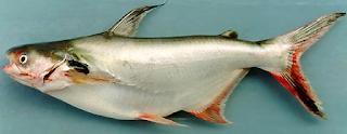 Inilah Khasiat Dan Manfaat Ikan Patin Untuk Kesehatan Kita