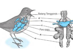 Alat Pernapasan Pada Burung