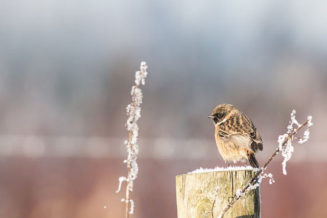 Male Stonechat on Frost Covered Fence Post