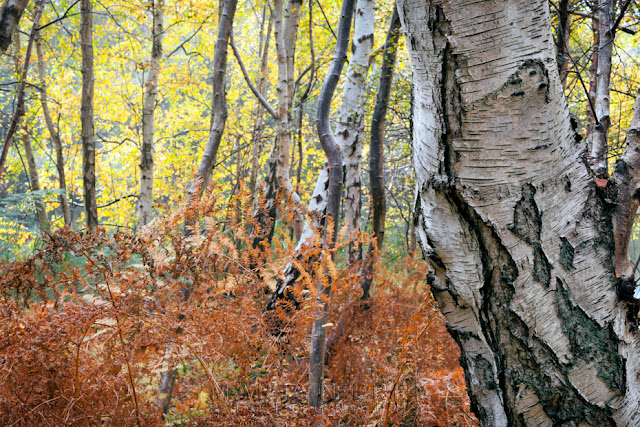 White bark of the silver birch with bright yellow autumn leaves and red ferns