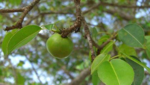 apel beracun