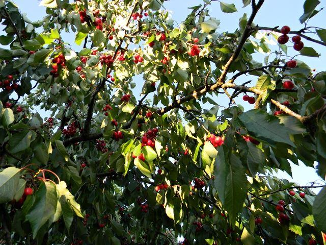 czereśnie, gałęzie, liście, sad