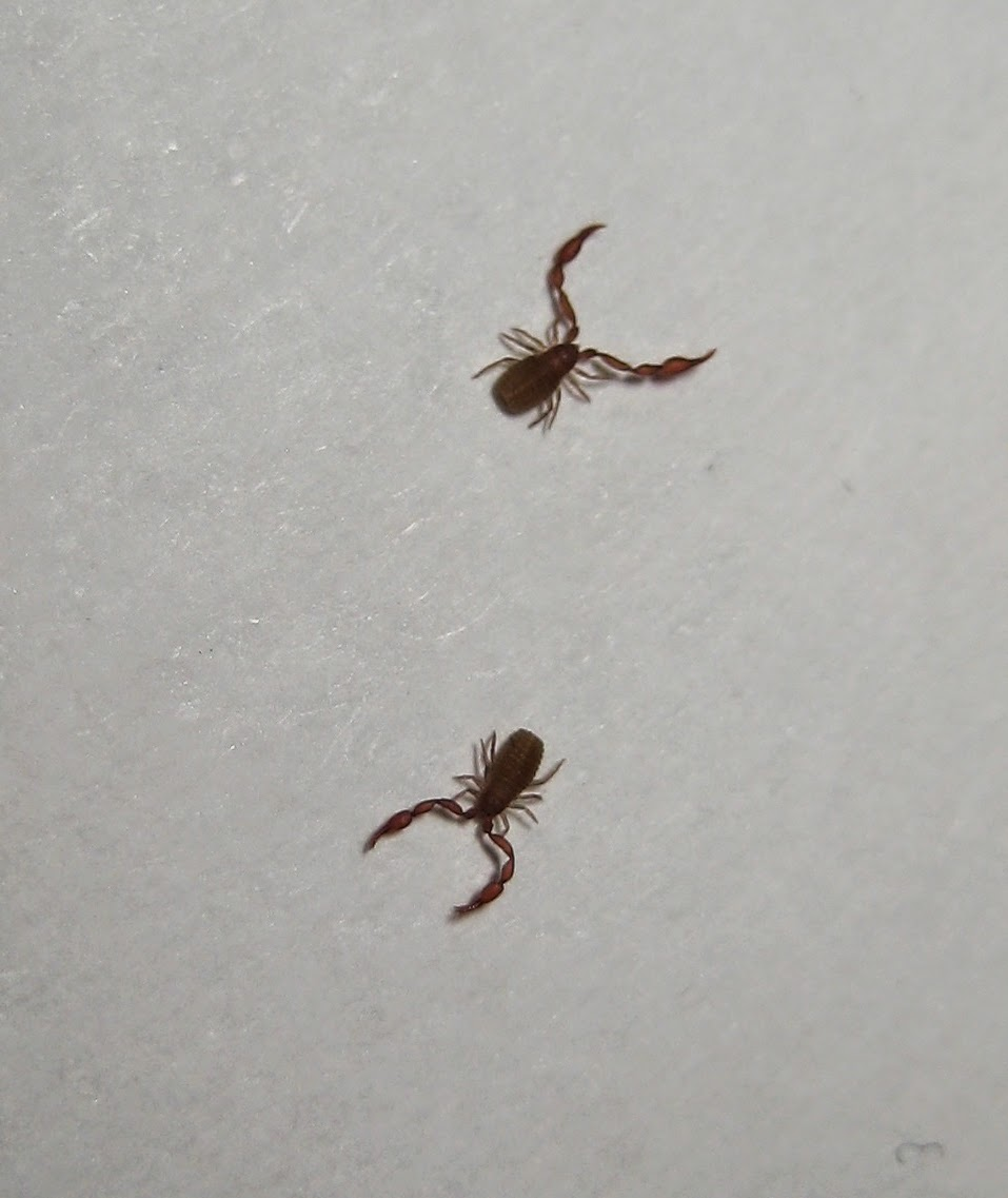 Insects Of Britain Pseudoscorpions