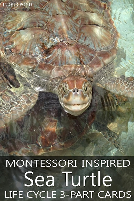 Learn more about Sea Turtles with these 3-part Cards that match the Safari Ltd Life Cycle Set
