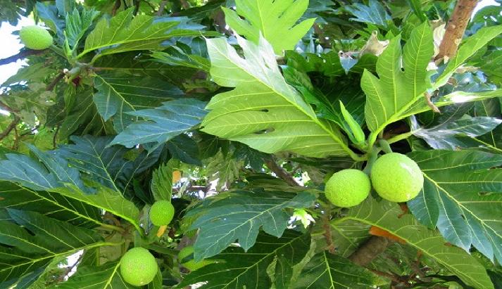 Benefits and Content of Breadfruit (Artocarpus communis)