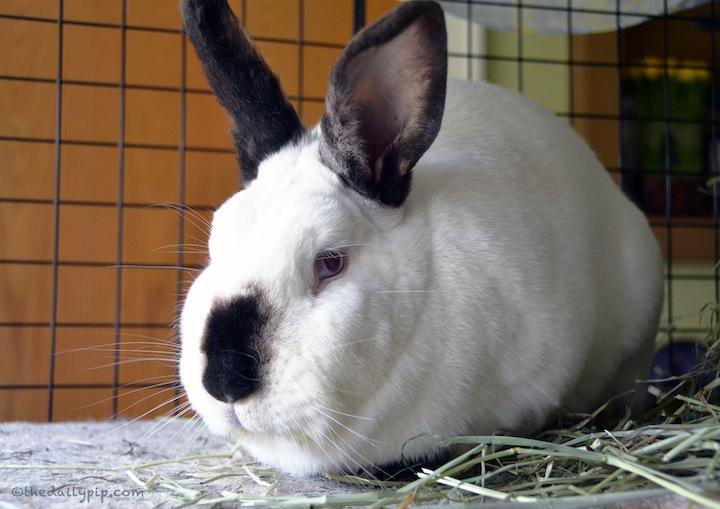 special needs rabbit adoptions, Californian rabbit
