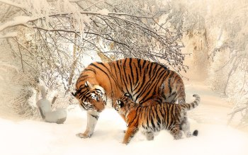 Wallpaper: Tiger mom and tiger cub