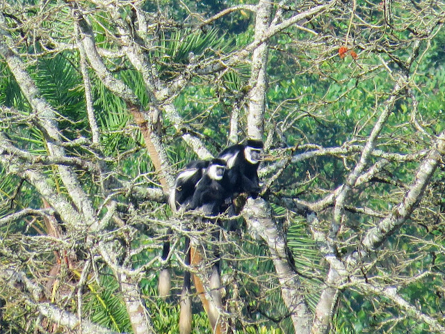 Black and white colobus monkeys in Bigodi Wetlands in Western Uganda