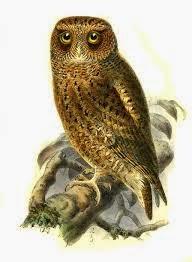 Autillo montano: Otus spilocephalus