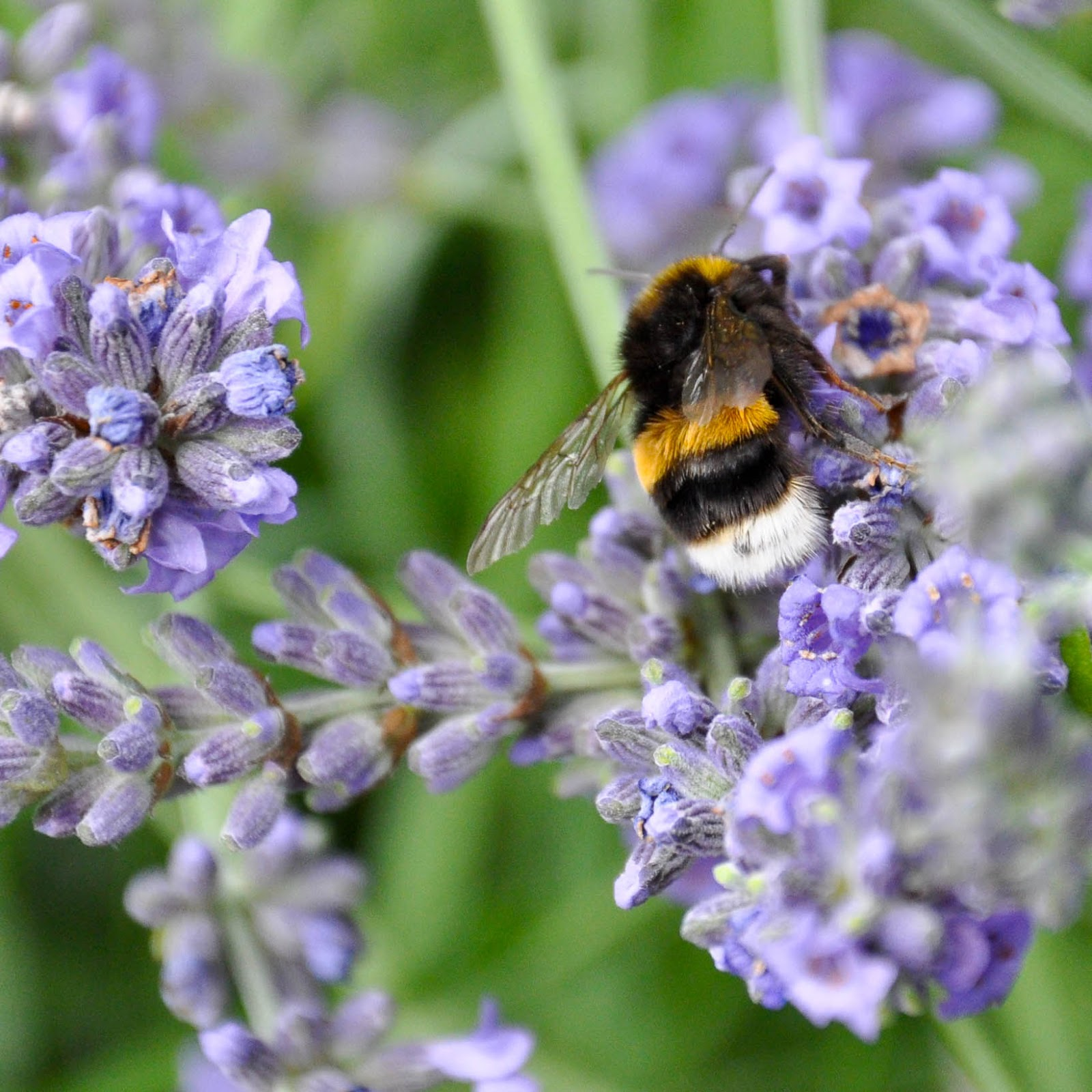 A bee on a lavender branch in the garden of St. Albans Cathedral, St. Albans, Herts, England