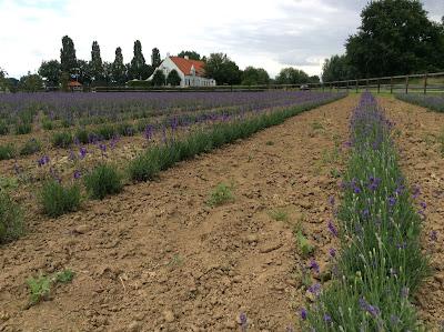 Lavendelolie uit droogboeketten destilleren