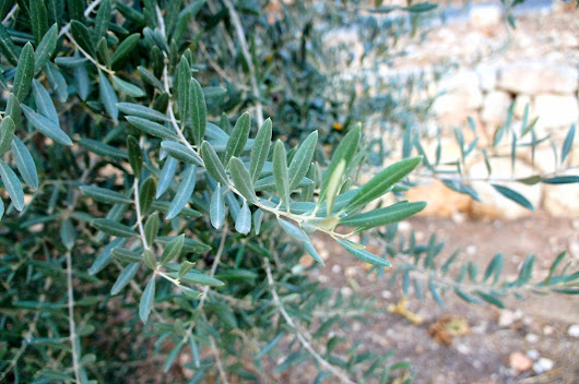 Olive Leaf Extract: A Plant That Fights Viruses