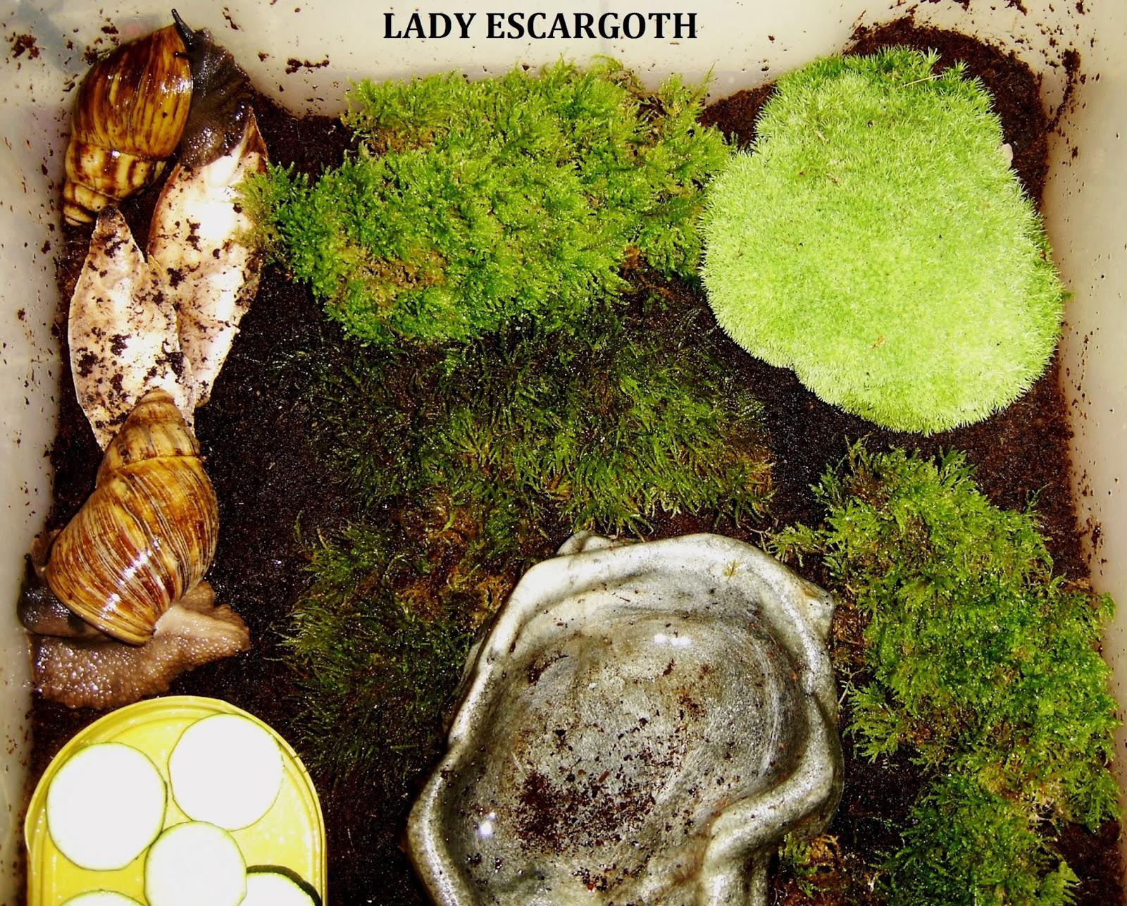 Les escargots g ants de lady escargoth de la mousse naturelle dans le terrarium des achatines - Mousse dans les urines ...