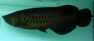 ikan arwana hitam