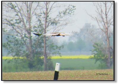 Greifvogel bei der Jagd