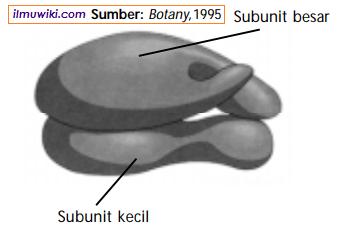 Subunit besar dan subunit kecil pada ribosom tempat sintesis protein.