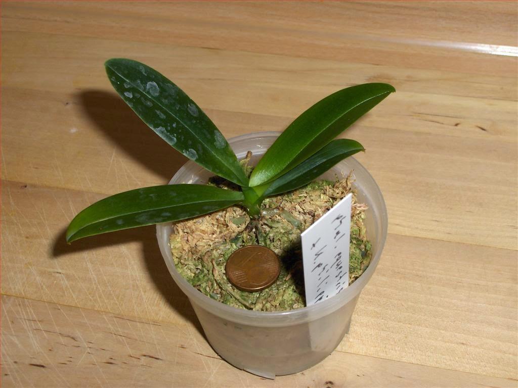 Orchidee in fiore phalaenopsis equestris x deliciosa for Vaso orchidea