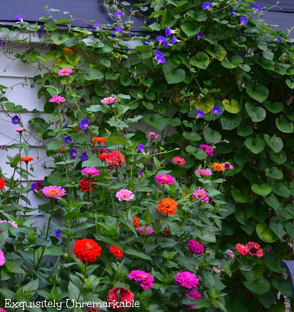 morning glories and zinnias