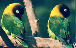 Jenis Burung Lovebird topeng yang Bagus