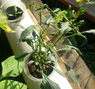 virus tanaman cabai