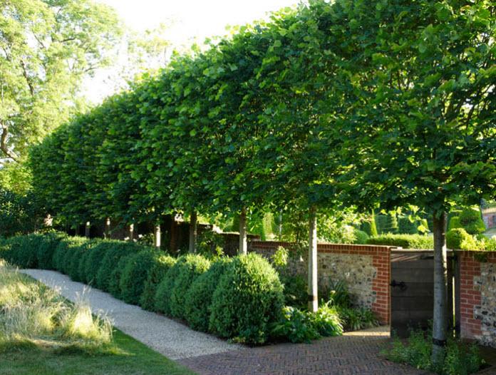 Design 101: Pleaching   Thinking Outside the Boxwood