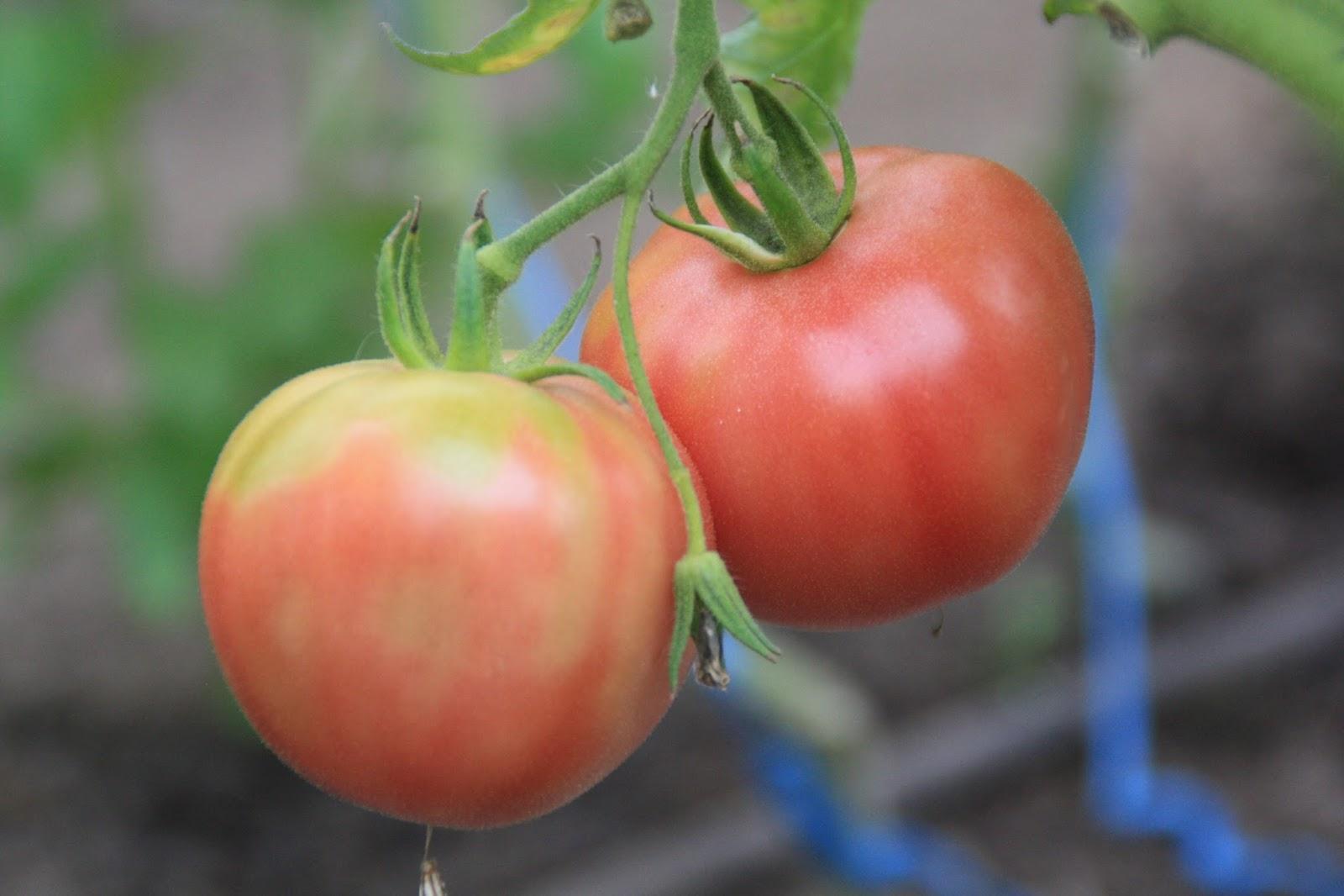bosavern community farm tomato varieties 2016. Black Bedroom Furniture Sets. Home Design Ideas