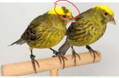 Kenari Lizard Jantan (kiri) yang saya bebri lingkar merah,  sedangkan yang kanan merupakan burung kenari lizard betina