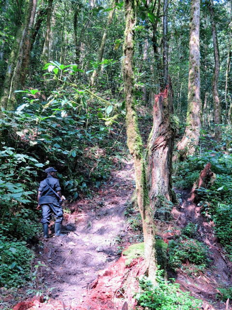 Muddy and steep section of the trail leading to the Nkuringo family of mountain gorillas in Uganda