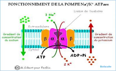 la pompe Na+/ K+/ATPase