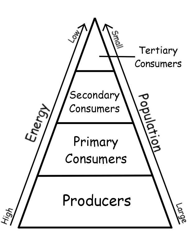 Printables Ecological Pyramids Worksheet energy pyramid worksheet versaldobip answers printable