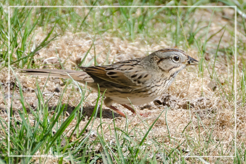 Lincoln's Sparrow. Copyright © Shelley Banks, all rights reserved.