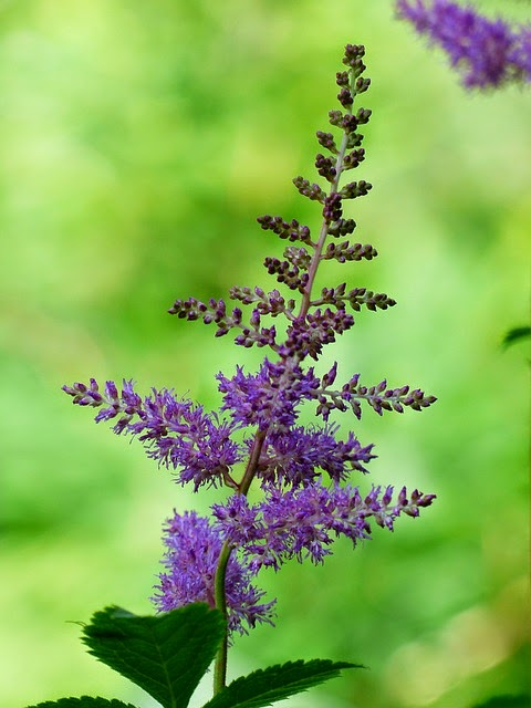 Growing different Astilbe varieties and colours