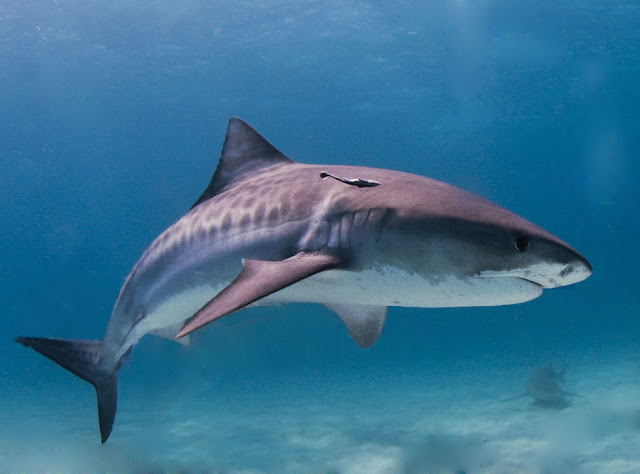 majestic tiger shark