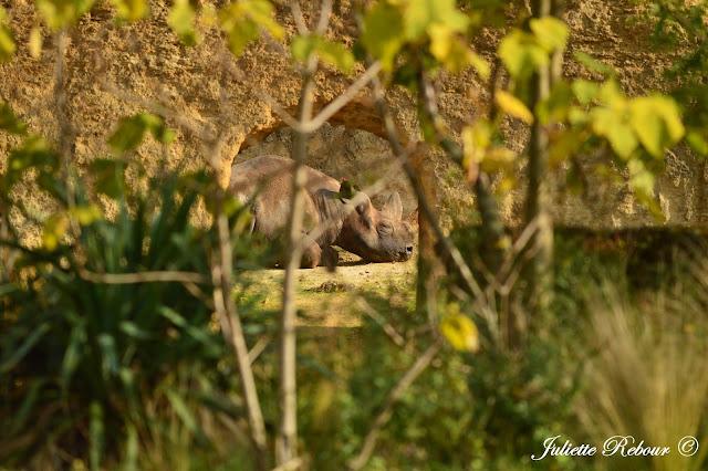 Rhinocéros blanc, Bioparc Doué-la-Fontaine
