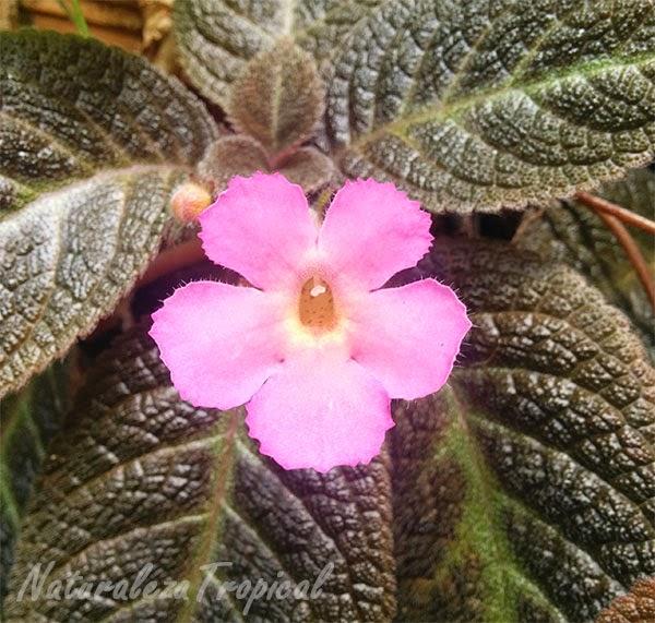 Variedad rosa de flor del género Episcia