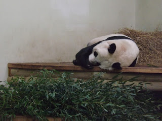 A panda sleeping