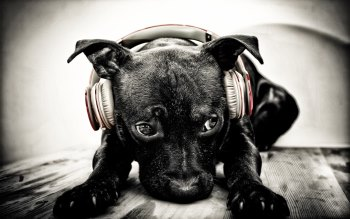 Wallpaper: Puppy with Beats Headphones