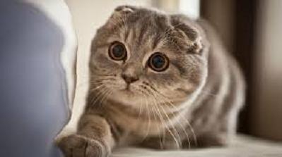 Scottish Fold - Most Attractive Cat Breeds