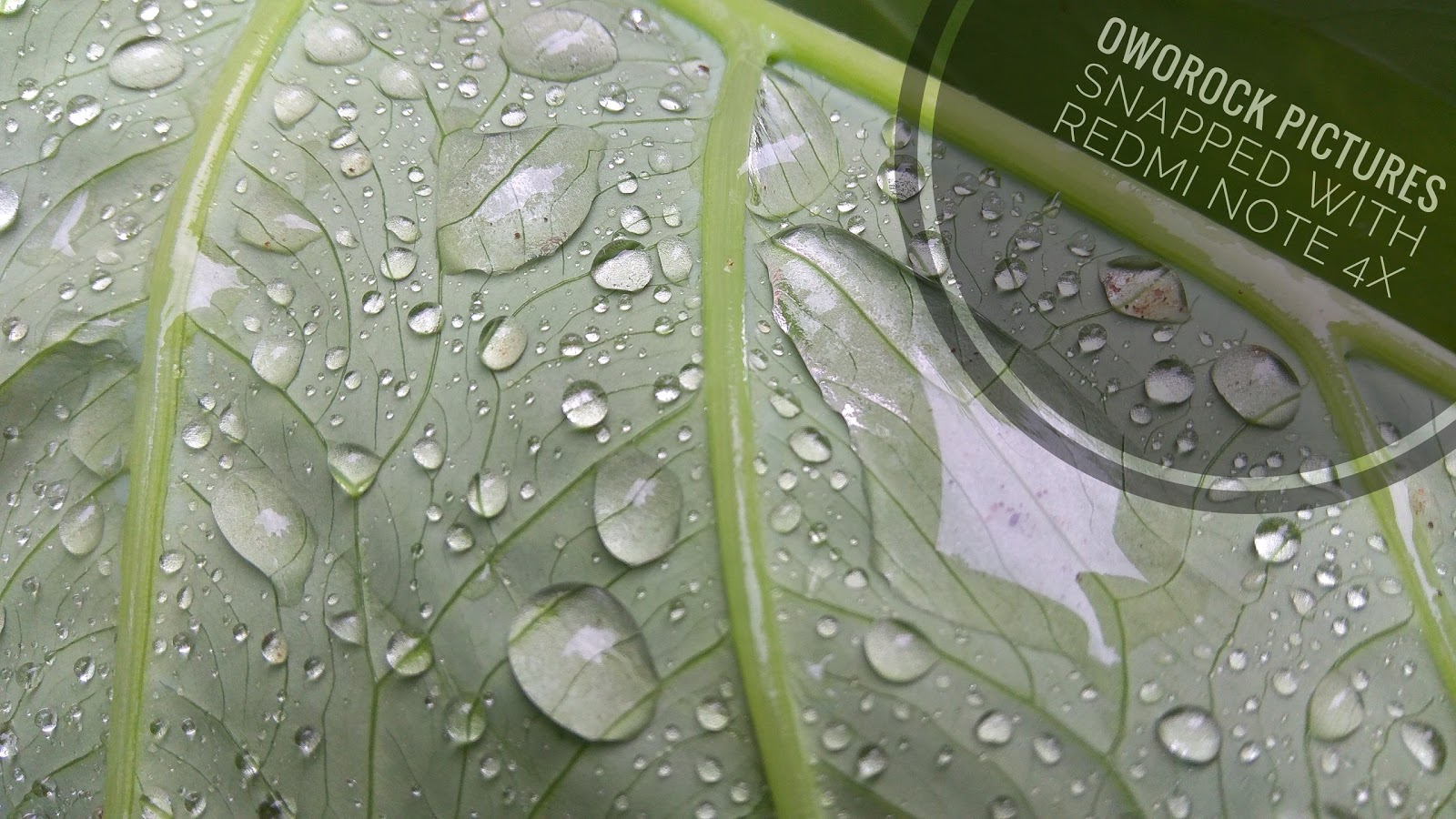 A free wallpaper picture of a rain water on a cocoyam leaf