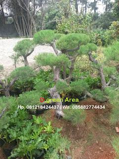 tukang taman penjual pohon bonsai cemara udang harga murah, tanaman bonsai cemara udang