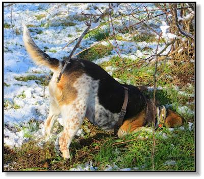 Beagle auf Mäusesuche