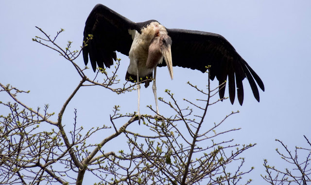 Marabou stork in Entebbe Botanical Garden in Uganda